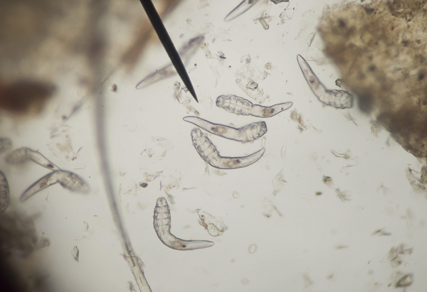 parazitakezelés ricinusolajjal féreg elleni gyógyszerek hatása