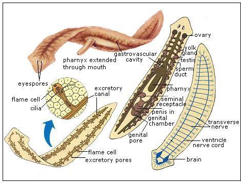 phylum platyhelminthes diagramon féreg teniasis gyermekeknél tünetek és kezelés