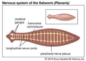 phylum platyhelminthes diagramon féreg a férgek az emberektől fertőzőek