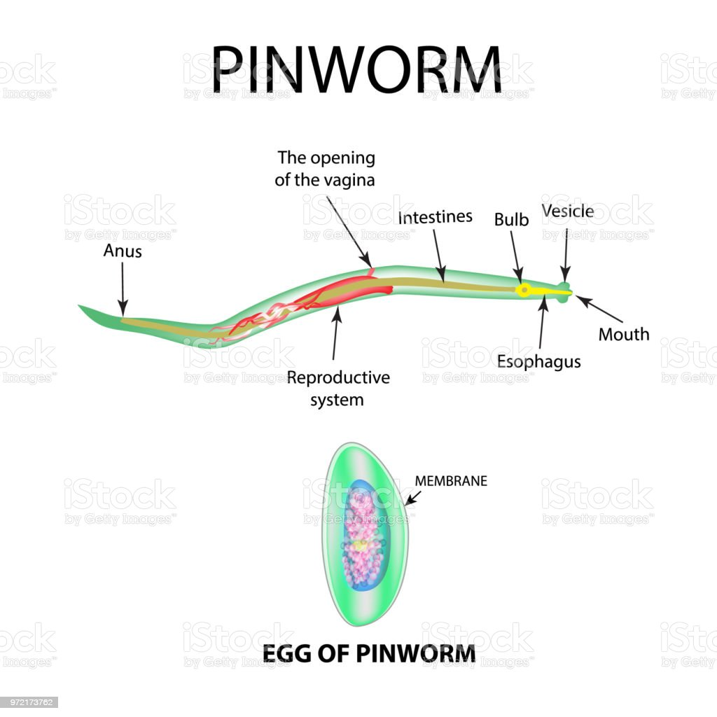 Pinworms egy lány puncijában
