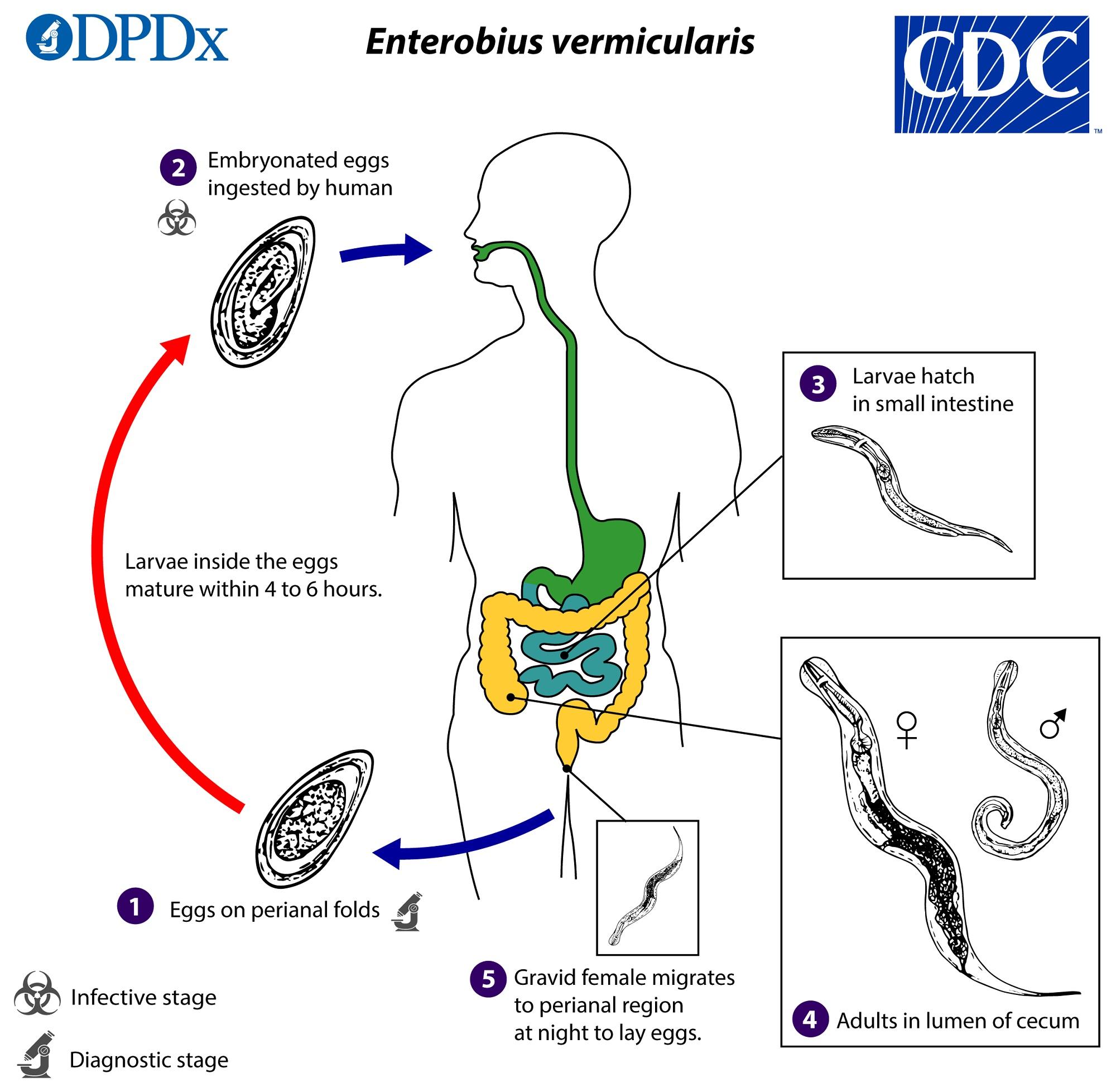 Helminthes széklet mikroszkópos fénykép ,csepp + a parazitáktól, Pinworms életciklus diagram