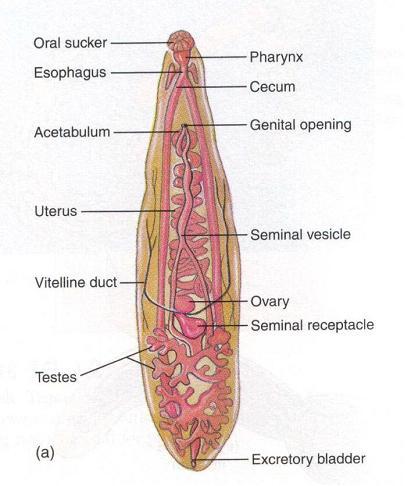 uborka szalagféreg hogyan fertőződik meg az ember általános kenet férfiakban