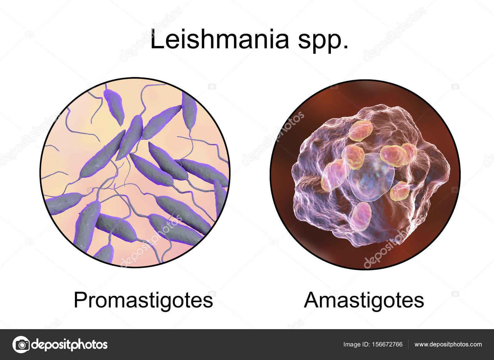 protozoan paraziták leishmaniasis embereket, mint a kezelést