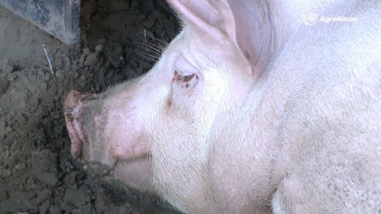 szarvasmarha szalagféreg az agyban féreg tabletták Thaiföldön