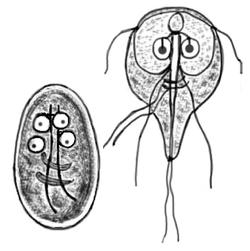 giardia infektion