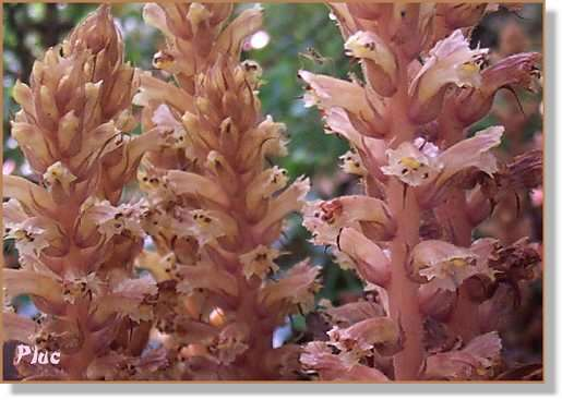 les holoparasites gyógynövény a paraziták ellen a testben