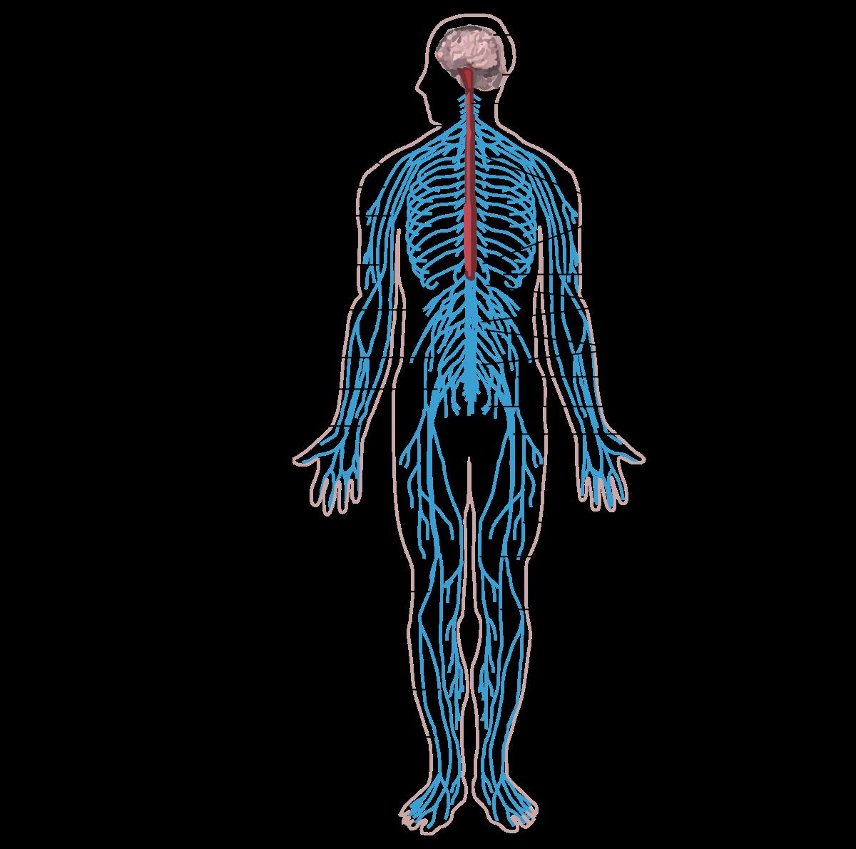 a körféreg idegrendszerének típusa