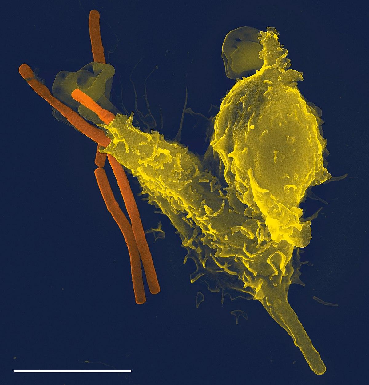 Immunrendszer Szarvasmarha lánc antitestek
