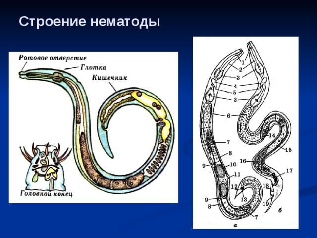 típusú kerekesférgek struktúrája
