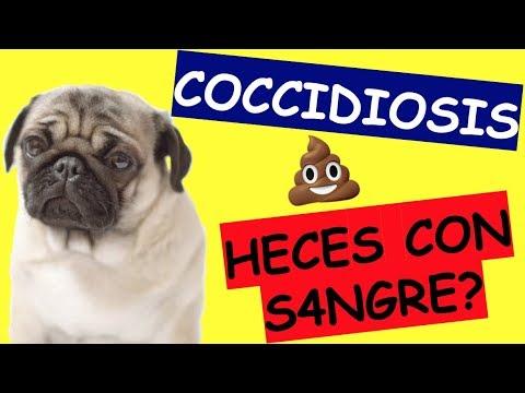 Tratamiento giardia y coccidia en perros. Diéta giardiasis - megszabadítja a szervezetet a Giardia.