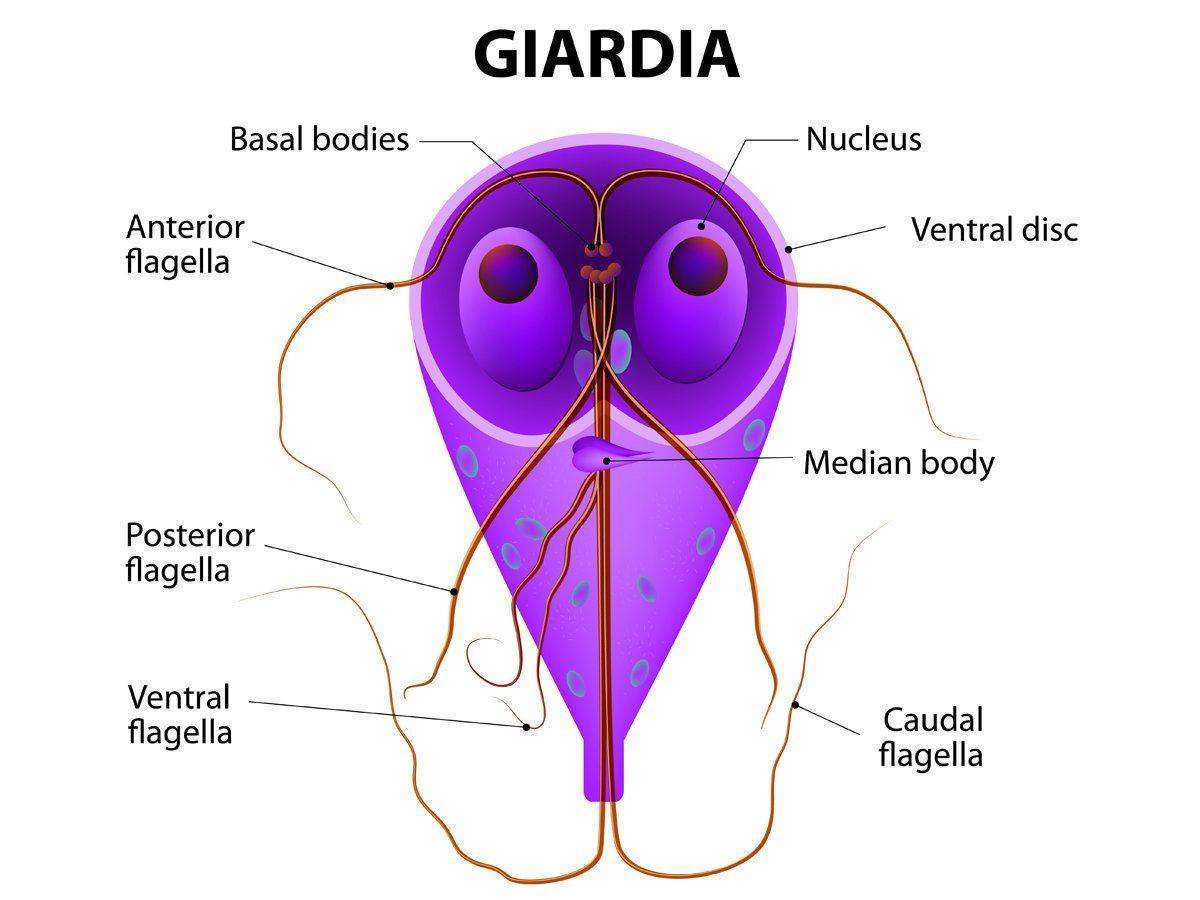 Rizs Giardia-ból, Giardia infection in humans