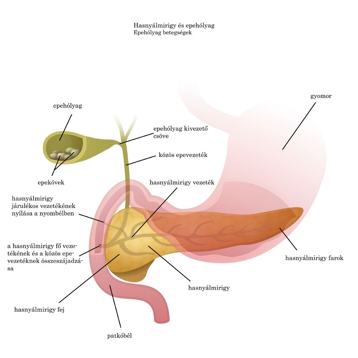 Az élősködők típusai az epehólyagban - Sárgaság