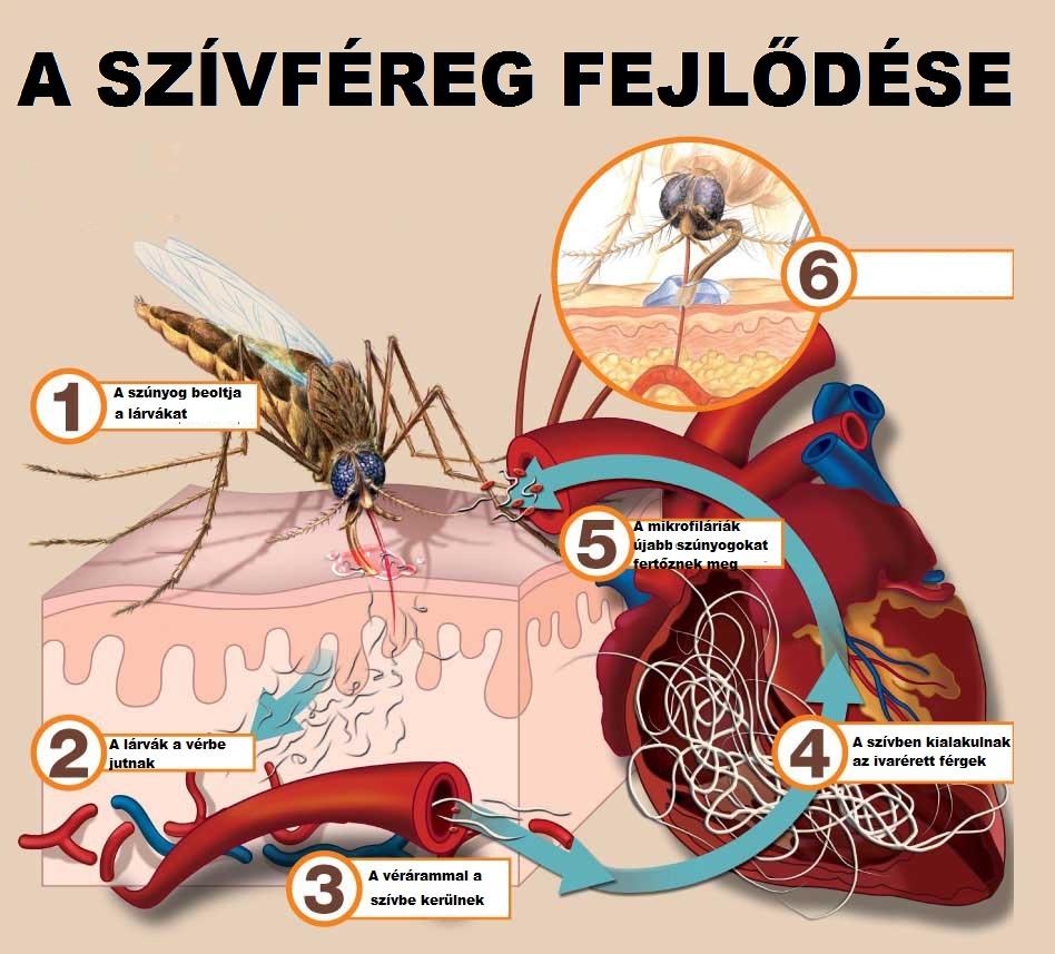 mely férgek fertőzőek