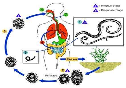 Melyek a paraziták gyógyszerei. A Magyarországon előforduló féregfertőzések