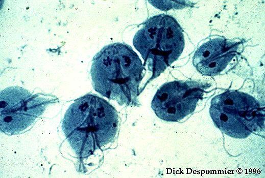 giardiasis biológia