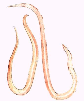 korbféreg férgek kezelése