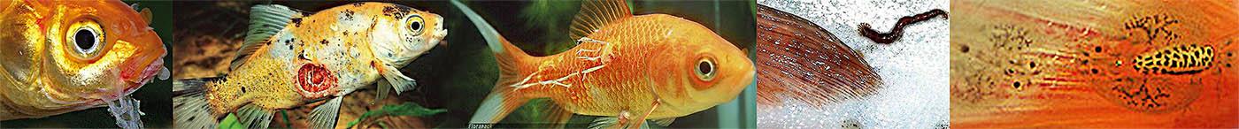 paraziták a halak féregében minden parazita testének gyógynövényes tisztítása