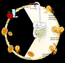Giardiasis, Giardia infektion symptome