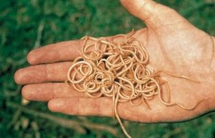a férgeket úgy kezelik milyen ételek nem szeretik az ember parazitáit