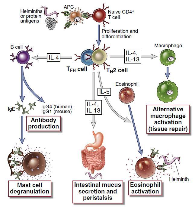 helmint veleszületett immunválasz távolítsa el a pinworms- t