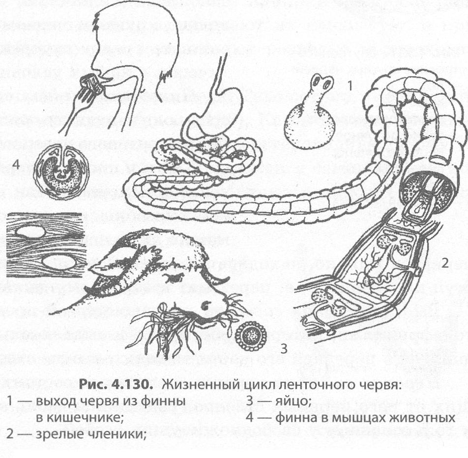 szalagféreg szervek
