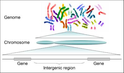 férgek méretű emberi kromoszómák
