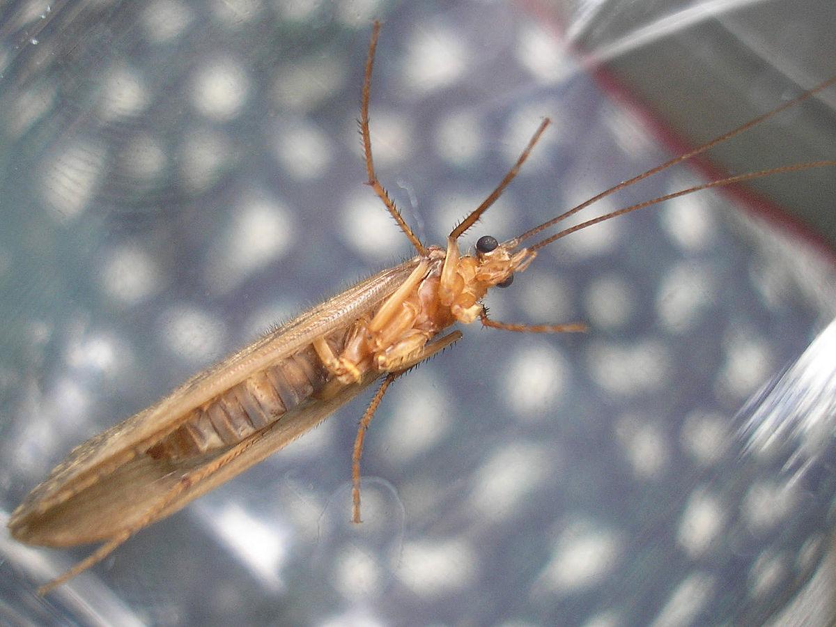 tenias paraziták szinonimája