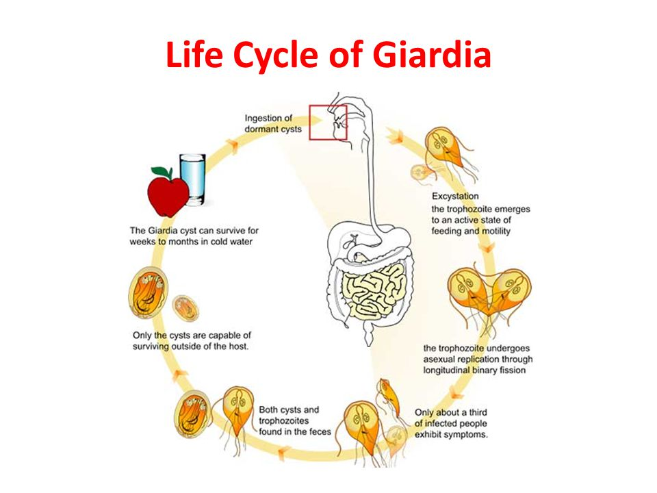 Giardia hond besmettelijk