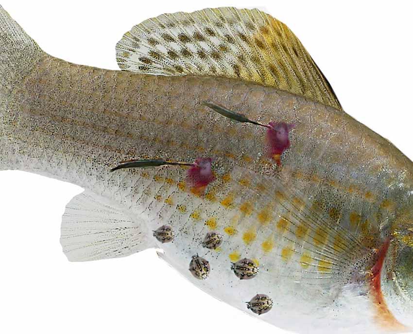 paraziták a halak féregében