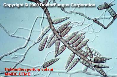 Jamur helminthosporium oryzae. Név féreg orvoslás