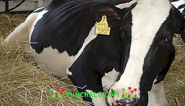 Férgek bika szalagféreg kezelés - szarvasmarha galandféreg - Diagnosztika