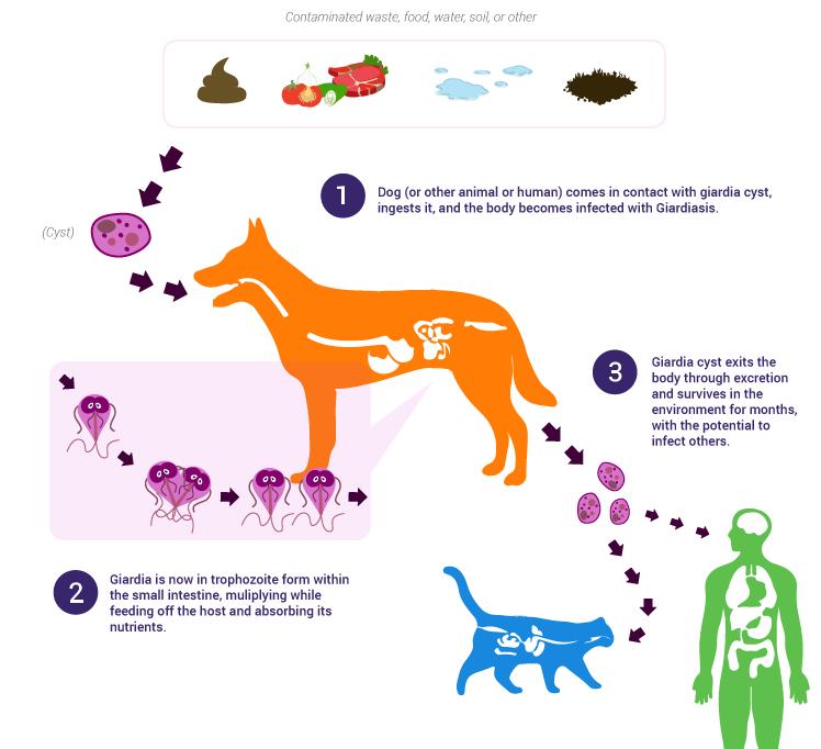 giardia stomach virus komplex a férgek kezelésében