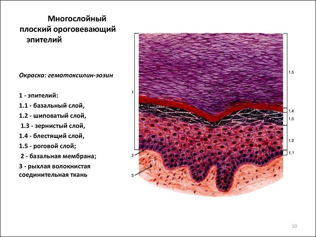 Epithelium egy kenetben a nőknél - Pyelonephritis -