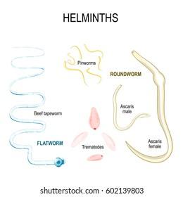 pinworms kutatás paraziták kezelése a szövetekben