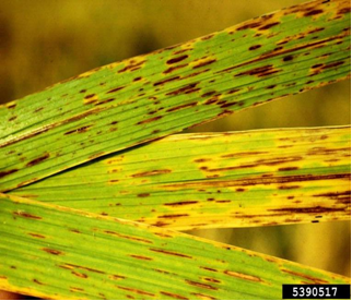 taksonomi helminthosporium oryzae a férgek kezelésének jelenléte