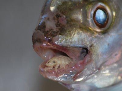 a halak paraziták gyógyszer a férgek mérgező áráért