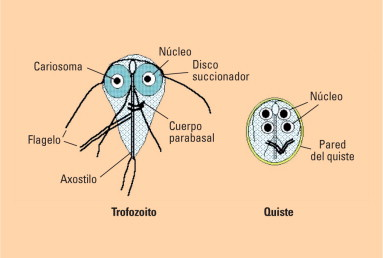 Giardiasis, ahol Giardia él