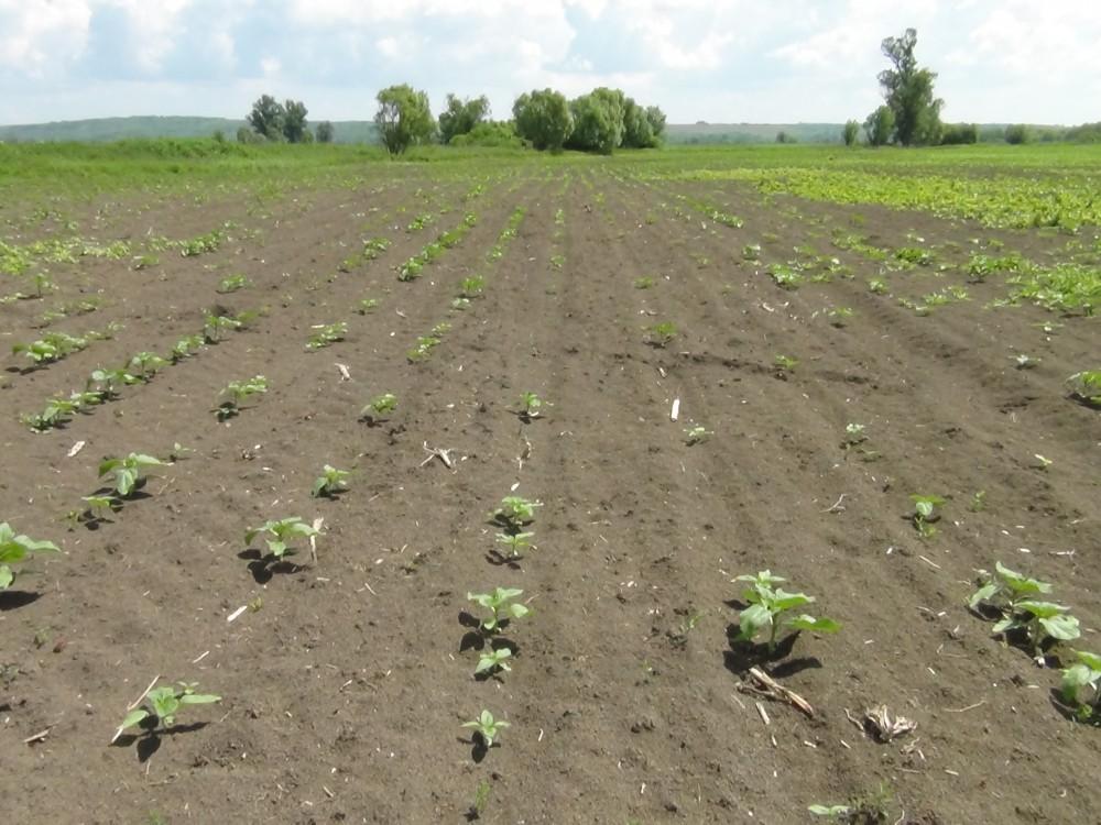 Hatékony védelem a talajlakó kártevők ellen