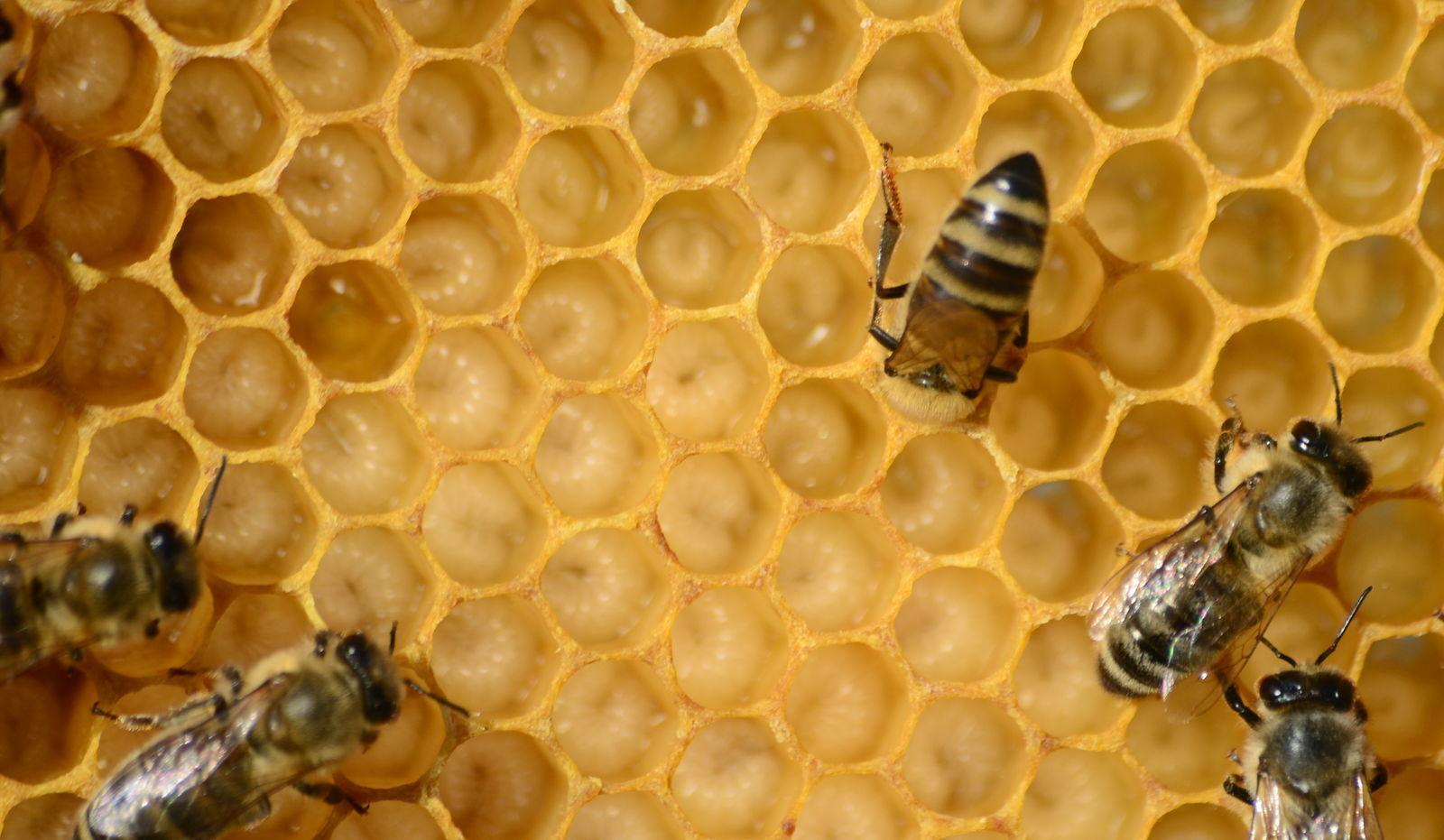Méhbetegségek és paraziták Hazánkban is fenyeget a méhbetegség
