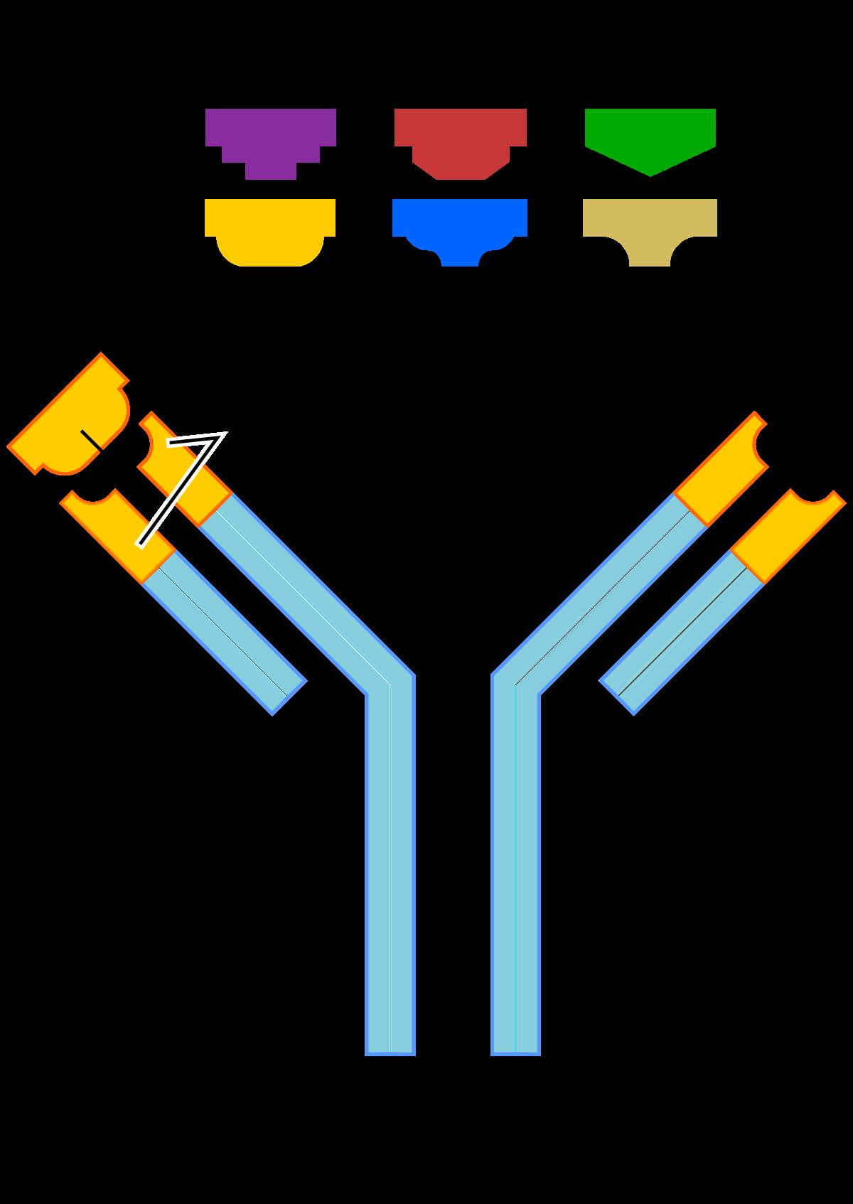 Toxocara antitest (IgG)