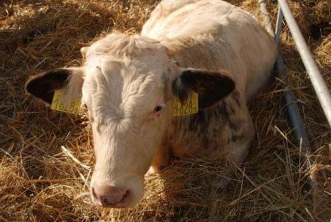 felnőtt szarvasmarha féreg enterobiosis szűrési technika