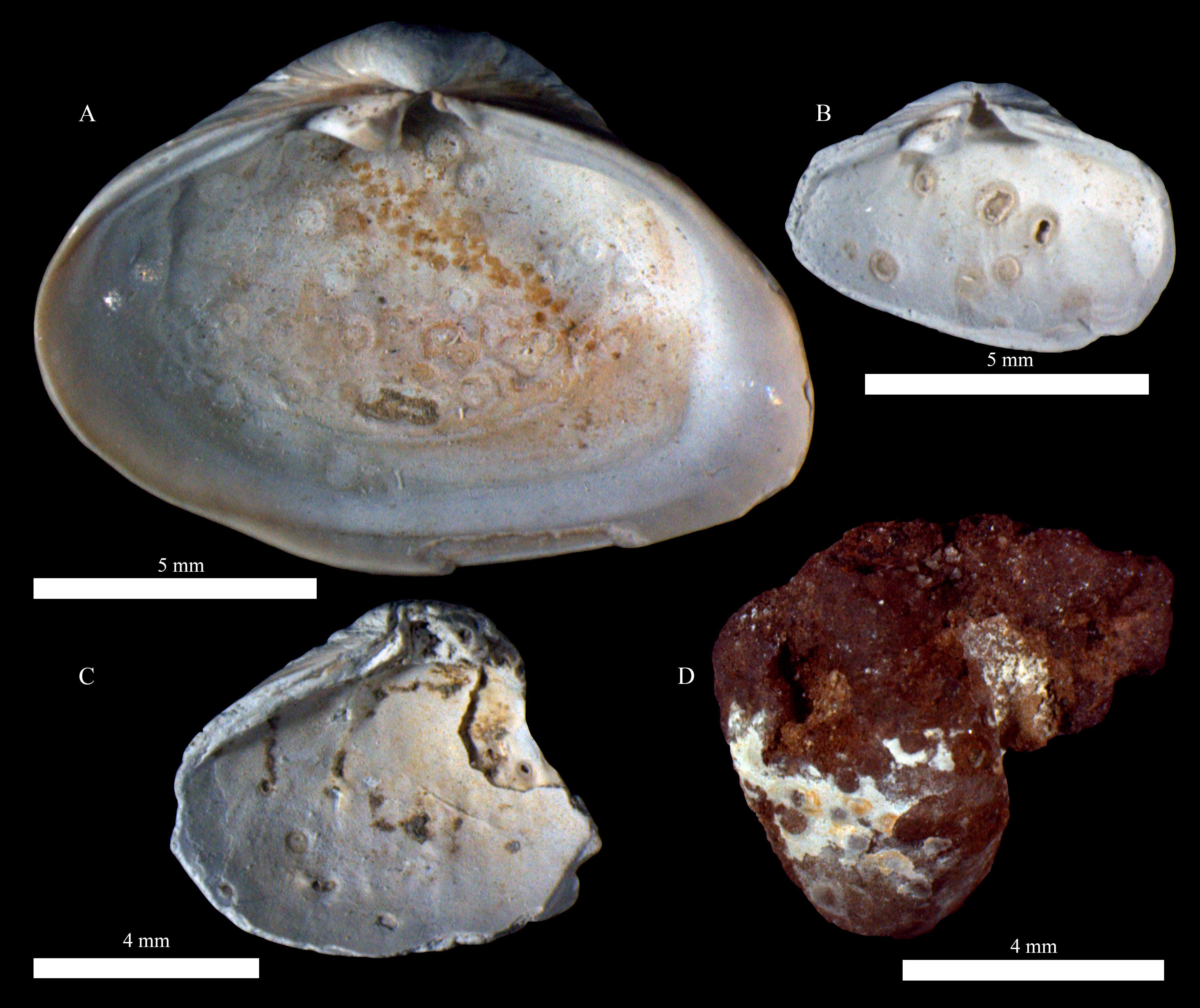kagyló emberi parazita