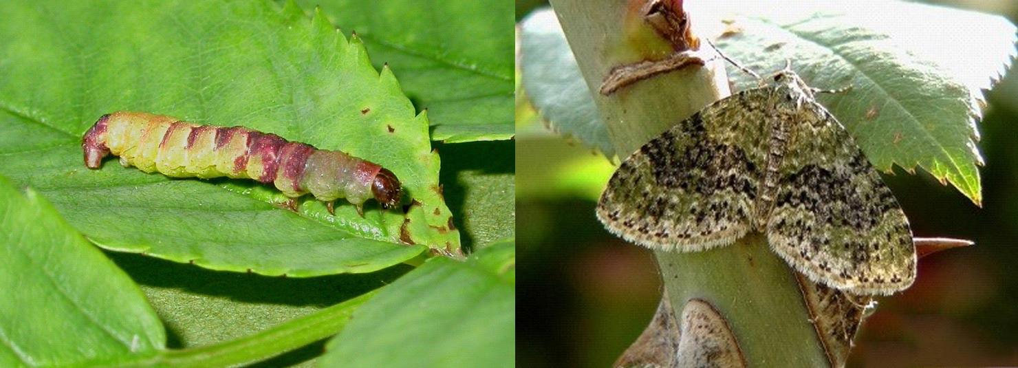 kezelje a levéltetvek és más paraziták virágait