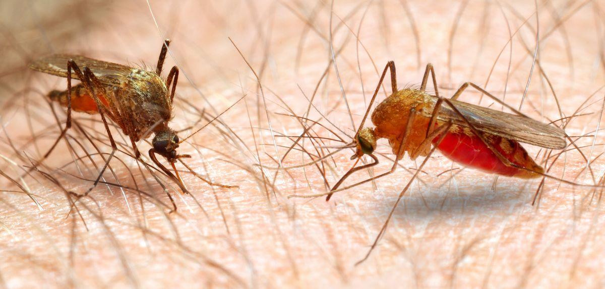 a malária plazmodium fontossága