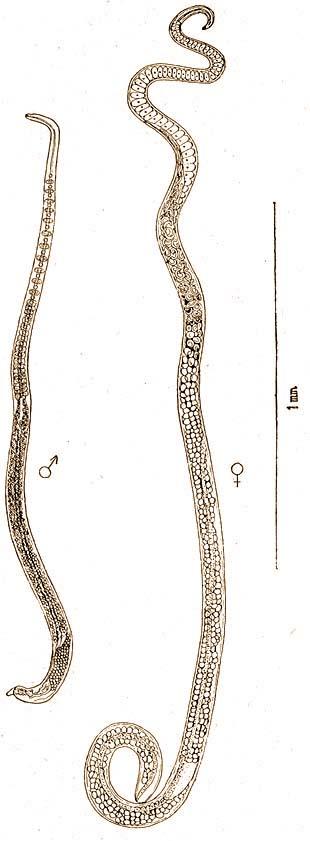 A sertés és a fonálféreg