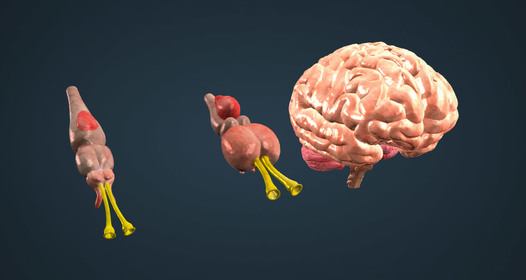 Gyurusfergek idegrendszere Milyen testüregben van a körféreg