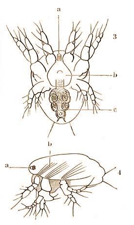 pinworms a vékonybélben hány napig kezelik az enterobiasist