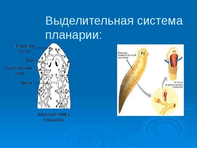 Bika szalagféreg megtekintése - Milyen jelek jellemzik a bika szalagféreget