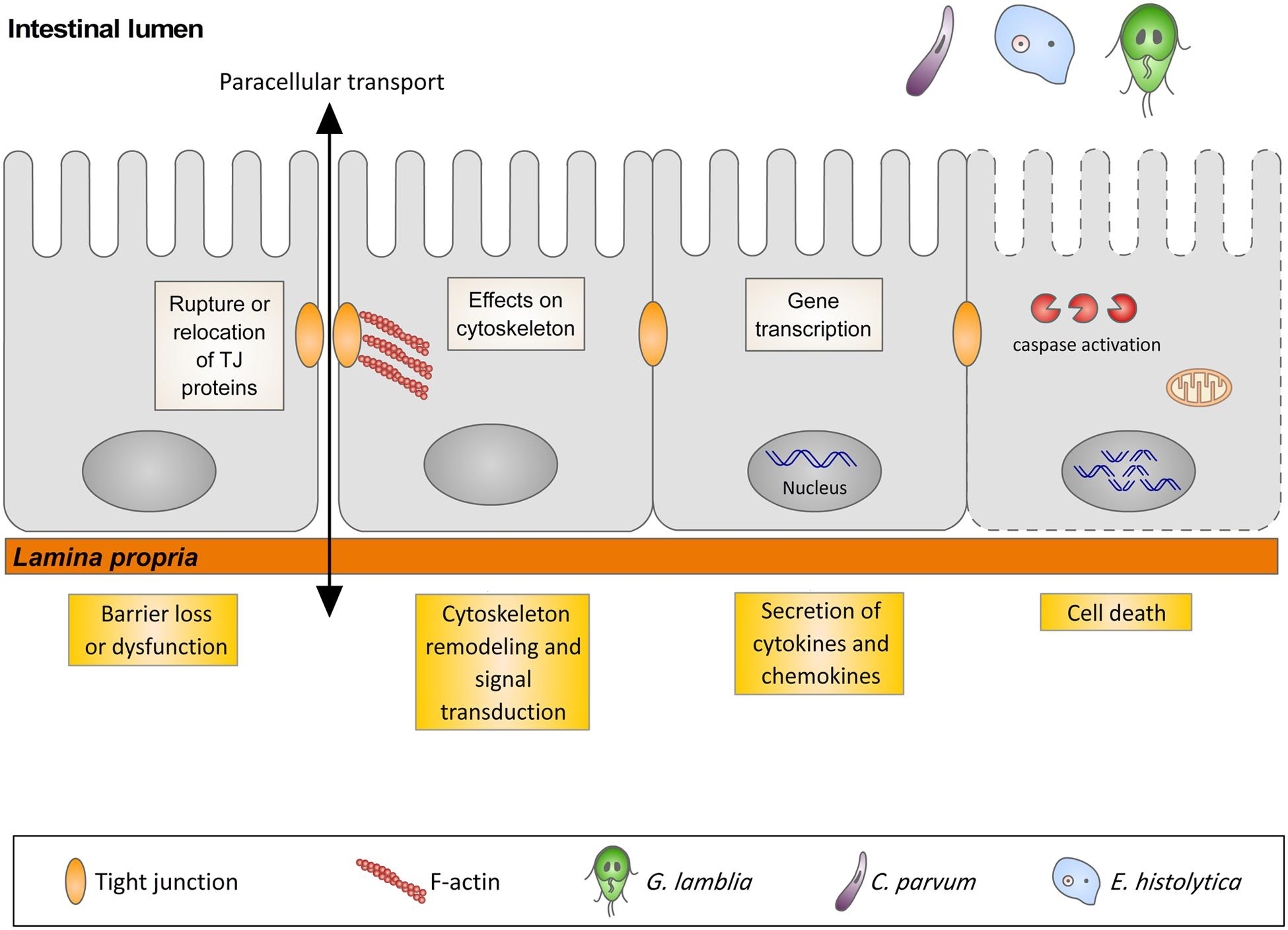 giardia duodenalis pathogenesis
