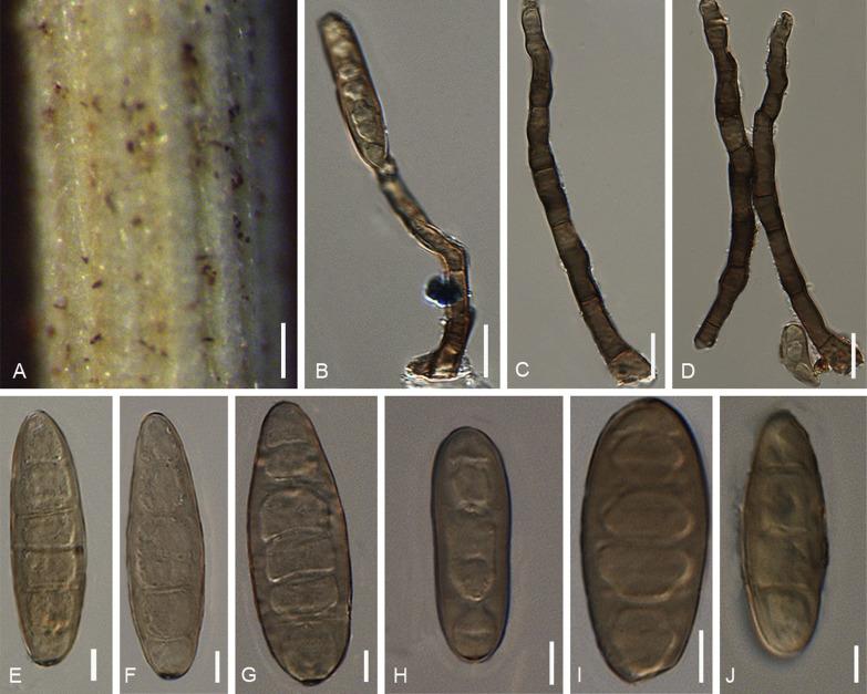 Helminthosporium oryzae taxonómia.